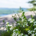 A few wildflowers near the summit.- Bald Mountain + Rondaxe Fire Tower