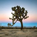 The sanctuary is home to some of the tallest Joshua Trees in Los Angeles County.- Alpine Butte Wildlife Sanctuary