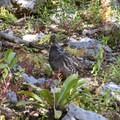 A pine hen along the Mount Naomi Trail.- Naomi Peak