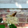 Butterfly in the garden at Mount Vernon.- George Washington's Mount Vernon