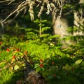 Bright berries line the upper portions of the trail.- Cascade + Porter Mountains