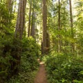 The trail is easily followed as it winds through the dense understory.- Miner's Ridge Trail, Prairie Creek to Gold Bluffs Beach
