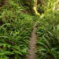 Ferns line the trail for miles.- Miner's Ridge Trail, Prairie Creek to Gold Bluffs Beach