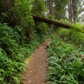 Plants grow across a downed trees over the trail.- James Irvine Trail, Prairie Creek to Fern Canyon