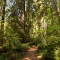 The majority of this trail is surrounded by dense forest.- James Irvine Trail, Prairie Creek to Fern Canyon