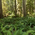Walking through a plane of ferns dotted with towering redwoods.- James Irvine Trail, Prairie Creek to Fern Canyon