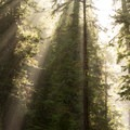 A light morning fog creates beams through the redwood forest.- James Irvine Trail, Prairie Creek to Fern Canyon