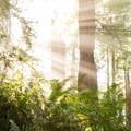 Light bursts through the trees.- James Irvine Trail, Prairie Creek to Fern Canyon