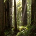 The redwood forest takes on a fairy tale appearance.- James Irvine Trail, Prairie Creek to Fern Canyon