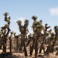 Small Groves of Joshua trees live in empty desert space.- Ricardo Campground