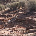Locals in Red Cliffs Desert Reserve.- Chuckwalla Trail to Scout Cave