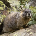 A fearless marmot whose home abuts the trail.- Little Yellowstone via the La Poudre Pass Trail