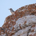 Rock wren. The route passes a large talus slope, which is good habitat for these birds.  - Frary Peak