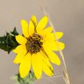 Sunflower and bee.  - Frary Peak