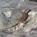 Sagebrush lizard.  - Frary Peak