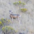 Mule deer.- Frary Peak