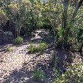 Dry mud becomes wet mud as the trail continues to descend.- Alaka'i Swamp via Pihea Trail