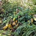 A remarkable variety of plants thrives along the trail.- Alaka'i Swamp via Pihea Trail