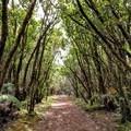 The trees seem to make a tunnel over the path.- Alaka'i Swamp via Pihea Trail