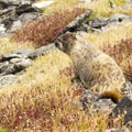 The noble and regal marmot.- Chapin, Chiquita + Ypsilon (CCY Route)