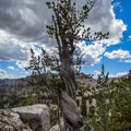 Ancient tree near the summit of Mount Gog.- White Pine Grand Slam