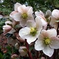 The first blooms of spring.- Big Rock Garden