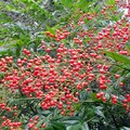 Bright red berries add some natural color to the park.- Big Rock Garden