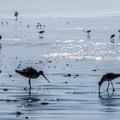 Birds along Morro Strand State Beach.- Morro Strand State Beach