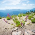 Wildflowers abound at the summit.- Shissler Peak Fire Tower