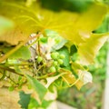 Grapes in one of many gardens.- Sackets Harbor Battlefield