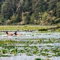 Elk crossing nearby Crabapple Lake.- Coffenbury Lake