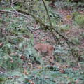 Deer spoted along the Ridgeline Trail near Eugene.- Ridgeline Trail System: Blanton Trailhead