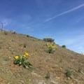 Wildflowers on the Umtanum Ridge Crest Trail.- Umtanum Ridge Crest Trail