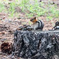 Local resident ground squirrel.- Fallen Leaf Lake Campground