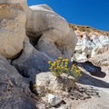 Rabbitbush in flower in the mines.- Paint Mines Interpretive Park
