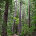 Tall trees in the Umpqua National Forest. - Warm Springs Falls