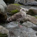 A seagull stands smugly on a rock.- Willow Creek Beach + Picnic Area