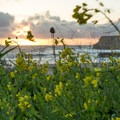 Large patches of wildflowers grow here during wet months.- Davenport Landing Beach