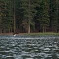 An osprey takes off from a failed dive.- Manzanita Lake