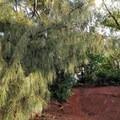 Jelecote pine, an introduced species of tree.- Nounou Mountain via the East Ridge