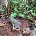 Watch for giant frogs in the trail.- Nounou Mountain via the East Ridge