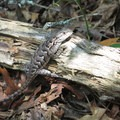 Lizard along the Art Loeb Trail.- Art Loeb Trail