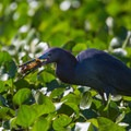 Little blue heron catching a crayfish lunch.- Wacissa River