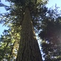 Old-growth Douglas fir.- Twin Lakes