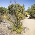 Singleleaf ash.- Cedar Point Nature Trail