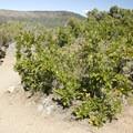 The Gambel oak, also known as a dwarf oak.- Cedar Point Nature Trail