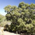 The Utah juniper.- Cedar Point Nature Trail