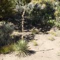 Yucca.- Cedar Point Nature Trail