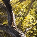 Twisting limbs of a juniper before the yellowing foliage of mountain mahogany along the Chasm View Nature Trail.- North Rim Chasm View Nature Trail
