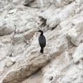 Brandt's cormorant resting on a rock.- North Shore Trail + Whaler's Knoll